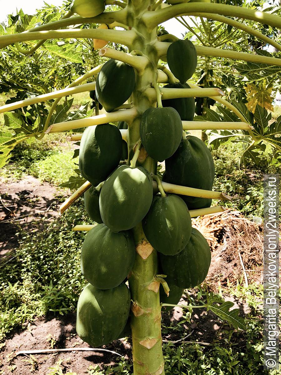 frukty-na-ostrove-toddu-maldivy
